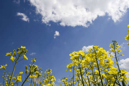 oilseed: oilseed rape with blue sky
