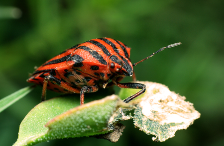 lineatum: Red and black striped Stink bug (Graphosoma lineatum) on a leaf