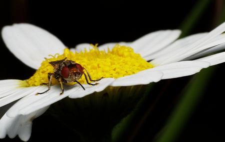 A close-up photo of a fly on a white and yellow chamomile Stock Photo