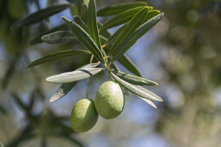 olive  tree: An olive branch from an olive tree.
