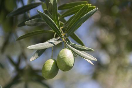 �rbol olivo: Una rama de olivo de un olivo.