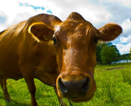oxfordshire: Ecological Cow