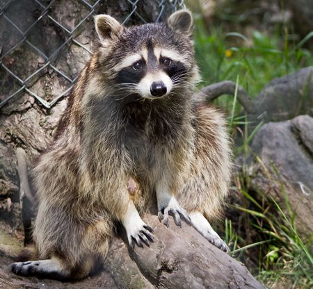 one animal: Guilty Racoon