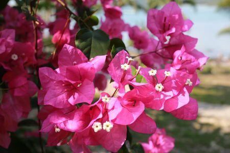breezy: Bougainvillea flowers