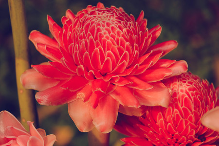 intricacy: Torch Ginger,beautiful Torch Ginger blossom,Pink flower,pink flower vintage styre with natural background. Stock Photo