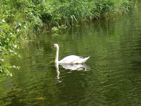 Tranquil water ripple, green grass, reeds and white swan photo