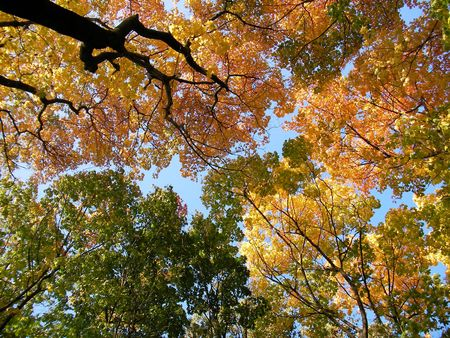 weald: Autumn yellow, green and orange leaf under blue sky