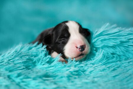 A small Corgi Cardigan puppy on a blue blanket