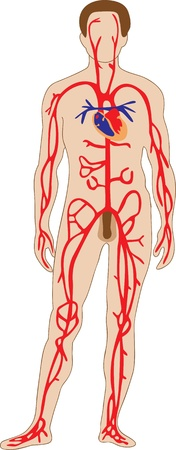 The schematic representation of the human arterial system Illustration