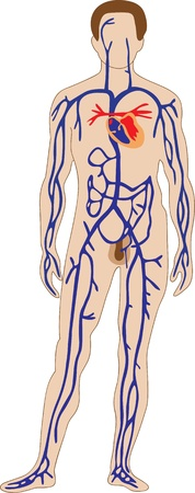 body outline: The schematic representation of the human venous system Illustration