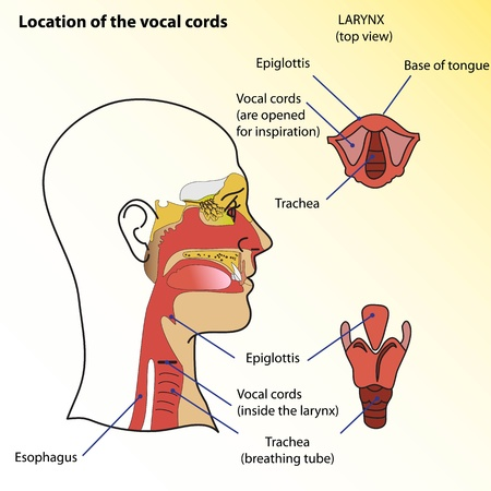 vocals: Medical poster  Location of the vocal cords of man  Illustration