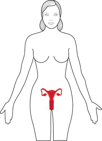 female reproductive organs:  Uterus