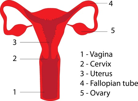 The main components of the female reproductive system  Poster
