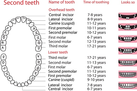Illustration depicting the sequence of eruption of permanent teeth  poster  Vector