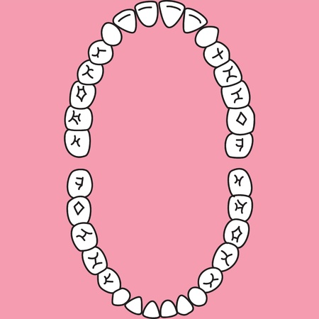 Permanent teeth  upper and lower jaw