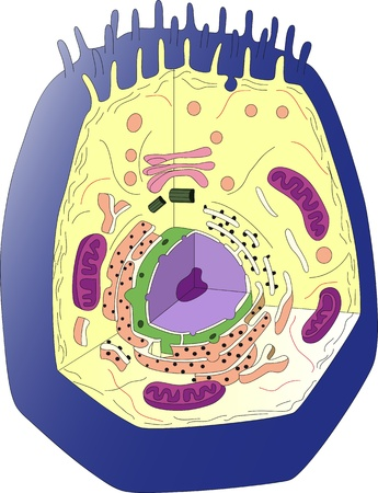 Anatomy of an animal cell  Section Vector
