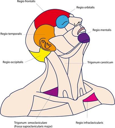 Die Bereiche des menschlichen Kopfes und Halses Medizin Farb-Poster Vektorgrafik