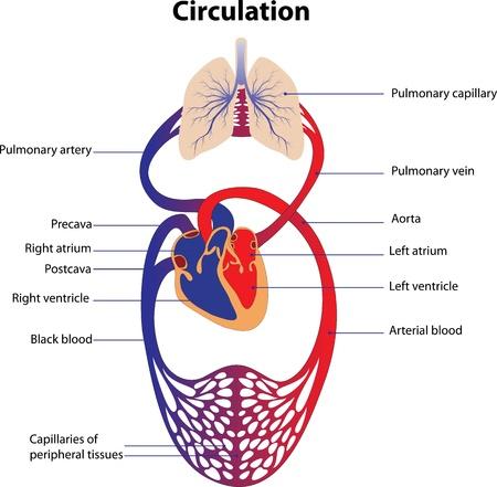 Representación esquemática del Cartel del sistema circulatorio humano