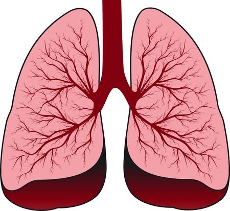 bronchi: Bronchial system  Human lungs Illustration