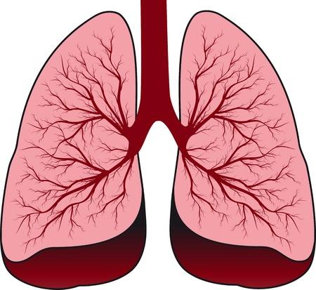 bronchi: Los pulmones del sistema bronquial Humanos