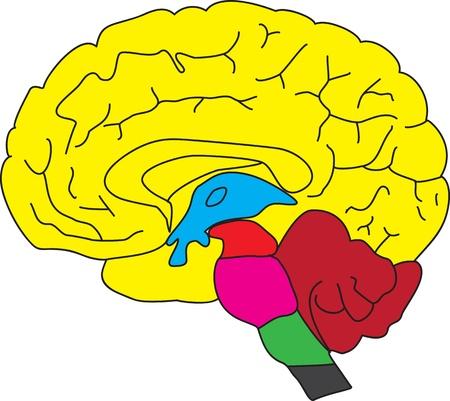 정면: 뇌