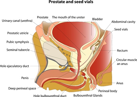 Prostate and seminal vesicles  Educational poster Vector