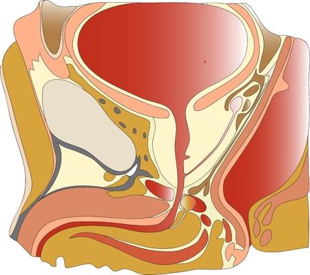 scrotum: Prostata e delle vescicole seminali