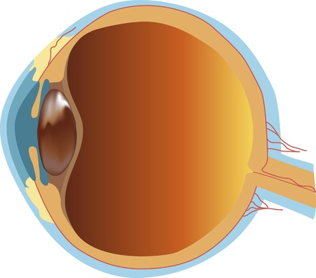 vitreous body: Structure of human eye  section