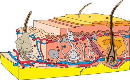 subcutaneous: skin cross section