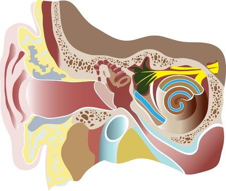 tympanic: Ilustraci�n vectorial de la Secci�n o�do humano