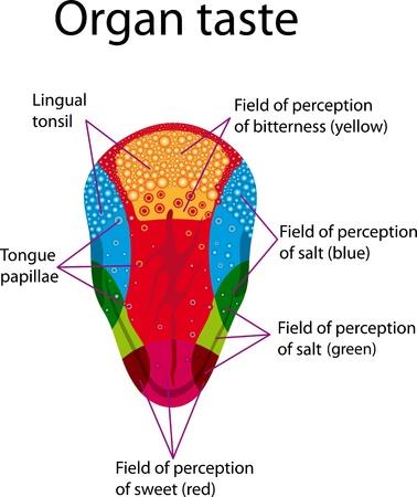 舌: 人間の舌の器官の味の地域分布を描いた教育ポスター