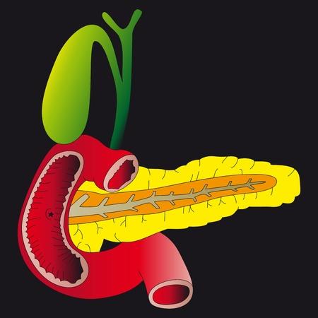 trzustka: Trzustka i woreczek żółciowy Ilustracja