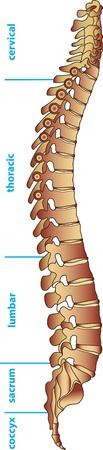 colonna vertebrale: Divisioni della colonna vertebrale umana Vettoriali