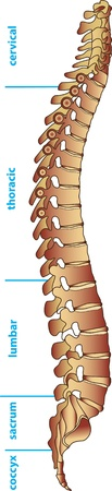 lombaire: Divisions de la colonne vert�brale humaine Illustration