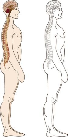 spine pain: El cerebro humano y el contorno de la columna vertebral y los tipos de color