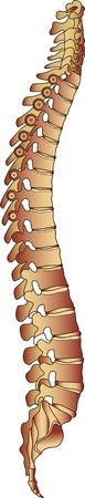 脊椎: 人間の脊柱の Iilustration