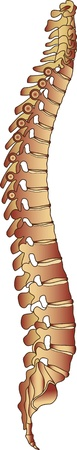 lumbar curve: Iilustration of the human spine