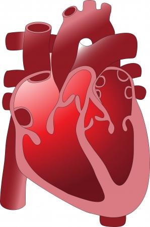 human vein heartbeat: heart 12