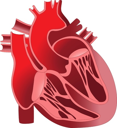 human vein heartbeat: The device is the human heart  Section