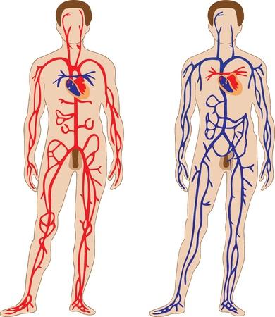 fisiologia: A representa��o esquem�tica do sistema cardiovascular humano