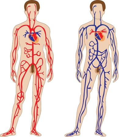 body outline: The schematic representation of the human cardiovascular system