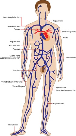 venous: Educational poster for medicine, representing the venous system of man and the names of its individual parts  Illustration