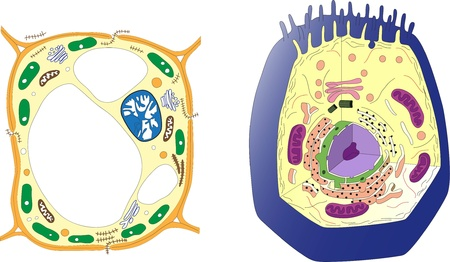 animal cell: Plant cell and animal cell  Section Illustration