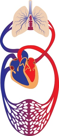 Schematic representation of the human circulatory system   イラスト・ベクター素材