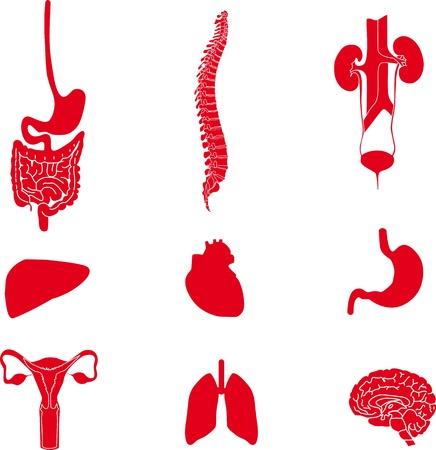 脊椎: 人間の organs1 のイメージのセット