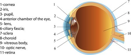 cornea: Structure of human eye  section   Poster
