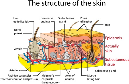 dermis: Skin cross section  Educational poster