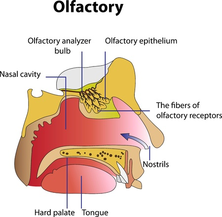 nostrils: Medical poster depicting the human olfactory