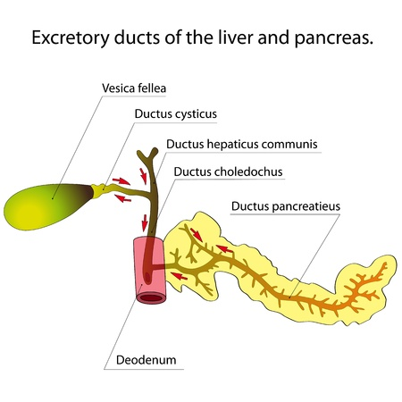 Excretory ducts of the liver and pancreas  Arrows indicate the direction of secretion  Vector