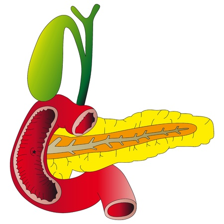 pancreas: Human digestive organs  the pancreas, gallbladder, duodenum  Illustration